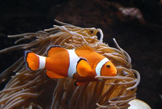 Clownfish ocellaris Amphiprion в морском аквариуме Стоковые Изображения