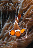 Clownfish ocellaris Amphiprion в морском аквариуме Стоковая Фотография RF