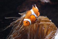 Clownfish ocellaris Amphiprion в морском аквариуме Стоковые Изображения RF