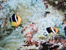 Clownfish, ocellaris Amphiprion Στοκ Φωτογραφία