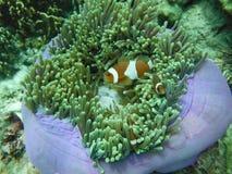 Clownfish och anemoner som är sydliga av Thailand Arkivfoto