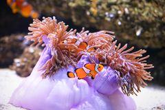 Clownfish oder anemonefish auf Seeanemonenhintergrund Stockfotografie