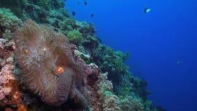 Clownfish op een hellende ertsader stock footage