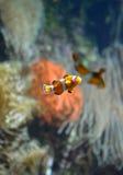 Clownfish orange photographie stock