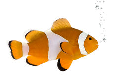 Clownfish orange - occelaris d'Amphiprion Image libre de droits