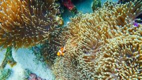Clownfish pêche avec l'actinie sous la mer Image stock