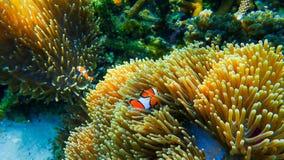 Clownfish pêche avec l'actinie sous la mer Images stock