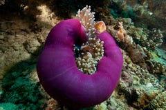 Clownfish in Papoea Stock Foto