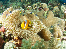 Clownfish in Papoea Stock Afbeelding