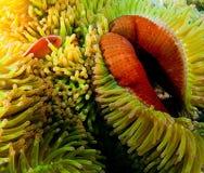 Clownfish, Papua - nowa gwinea Zdjęcie Stock