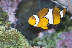 clownfish percula 库存图片