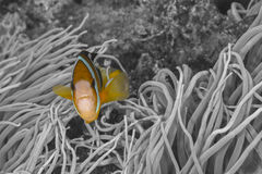 Clownfish in Philippines Stock Photo