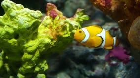 Clownfish près de corail dans l'aquarium Petite natation de clownfish près de divers coraux majestueux sur le fond noir dans l'aq