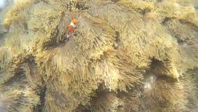 Clownfish przy przyciąganiem Tajlandia zbiory