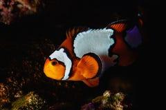 Clownfish que cruza el filón en la noche fotografía de archivo