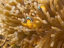 Clownfish que esconde na anêmona Fotografia de Stock