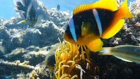 Clownfish que vive em sua anêmona de mar filme