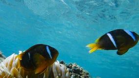 Clownfish que vive em sua anêmona de mar vídeos de arquivo