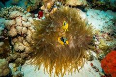 Clownfish que vive en su anémona de mar fotos de archivo
