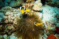 Clownfish que vive en su anémona de mar fotografía de archivo