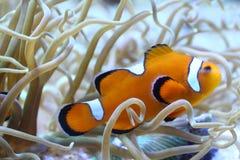 Clownfish rayado Foto de archivo libre de regalías