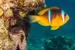 Clownfish in the Red Sea Colorful and beautiful stock photo