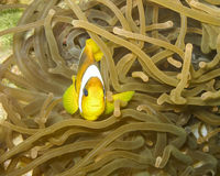 Clownfish. Red Sea (or two-banded) anemonefish (Amphiprion bicinctus) nestled in anemone Royalty Free Stock Photos
