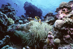 Clownfish Reef. Shallow reef in the Pacific host to a large anemone and clownfish colony Royalty Free Stock Photos