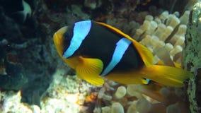 Clownfish rodzinny bawić się w ich anemonowym domu zbiory