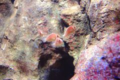 Clownfish roses de mouffette photos libres de droits