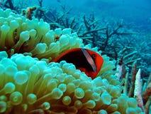 Clownfish rosso fotografie stock libere da diritti