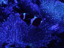 Clownfish in saltwater aquarium. Nature and fauna, underwater view, sea and ocean ecosystem royalty free stock images