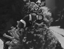 Clownfish in saltwater aquarium. Nature and fauna, underwater view, sea and ocean ecosystem royalty free stock image