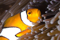 Clownfish in sea anemone Royalty Free Stock Images
