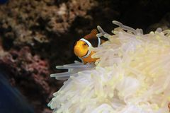 Clownfish and Sea Anemone. In an aquarium Royalty Free Stock Photos