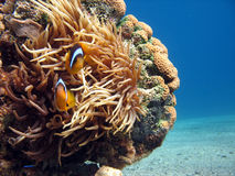 Clownfish and Sea Anemone. Shot in the Red Sea Royalty Free Stock Images