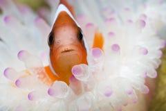 Clownfish in Sea Anemone Stock Image
