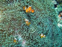 Clownfish in sea anemone. Underwater view of orange clownfish in sea anemone Royalty Free Stock Photos