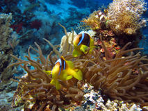 Clownfish and Sea Anemone. 2 Clownfish and Sea Anemone. shot in the Red Sea Stock Photo