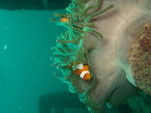 Clownfish and sea anemone. Clownfish hiding among a sea anemone. Underwater Photo from Andaman Beach, Thailand Stock Images