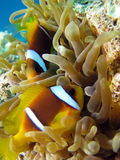 Clownfish and Sea Anemone. Shot in the Red Sea royalty free stock photography