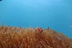 Clownfish in the sea anemone. A Clownfish in the sea anemone Stock Images