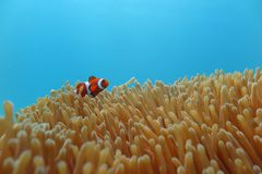 Clownfish in the sea anemone. A Clownfish in the sea anemone Stock Photo