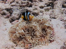 Coral, Clownfish & sea anemone Royalty Free Stock Images
