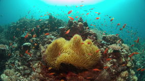 Clownfish in a sea anemone. 4k stock video