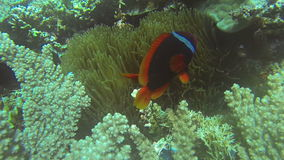 Clownfish and Sea Anemone in Philippines. Coral Reef and Tropical Fish in Philippines stock footage