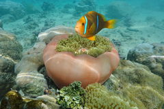 Clownfish and sea anemone underwater Pacific ocean Stock Photography