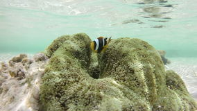 Clownfish and sea anemone stock footage