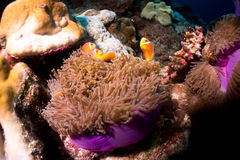 Clownfish in Sea Anemone. Violet Sea Anemones and Clownfish Stock Photography