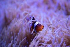 Clownfish som stojar i bosatt havsanemon royaltyfri fotografi